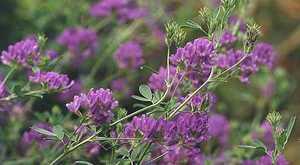 Люцерна-трава для кроликов
