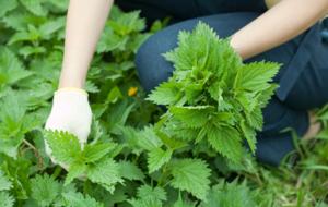 Крапиву для удобрения нужно собрать до появления семян