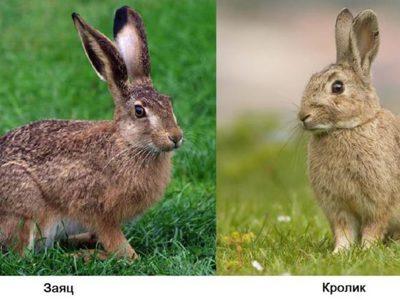 Чем зайцы отличаются от кроликов