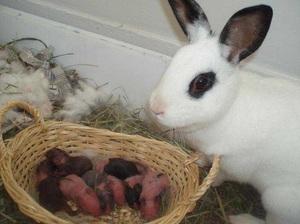 Причины съедания крольчат крольчихой