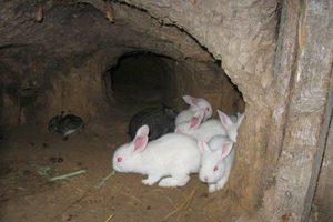 Стоит ли выращивать кроликов в яме