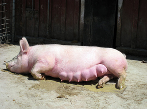 Чем болеют свиньи