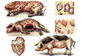 Чем могут болеть свиньи