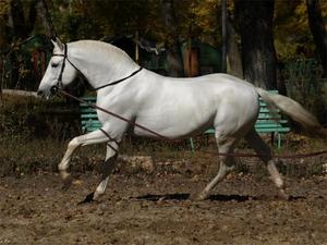 Порода лошадей Орловская