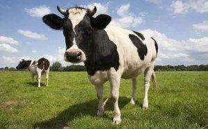 Корова живет