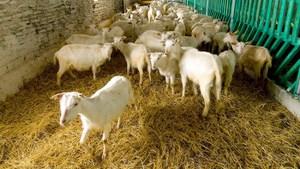 Правильная подстилка для коз
