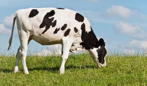 Порода чёрно-пёстрых коров на Урале фото