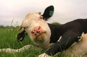 Как назвать корову или быка