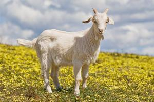 Чем кормить козу для большего молока