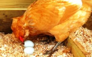 Почему курица клюет свои яйца