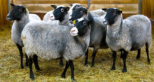 Рекомендации для начинающих овцеводов
