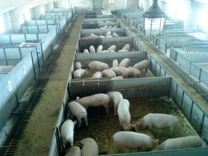 Разведение свиней как бизнес  фото