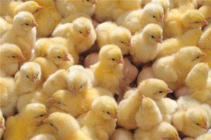 Тромексин: применение для бройлеров и цыплят