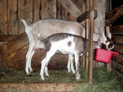 Сколько в среднем дает коза молока в сутки
