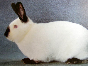 Rалифорнийский кролик