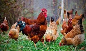 История возникновения кучинской юбилейной породы кур