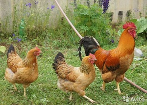 Описание кучинской юбилейной породы кур