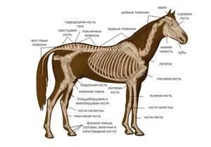 Строение тела лошади
