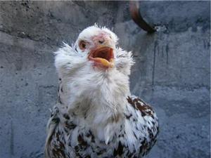 Недостатки орловской породы кур