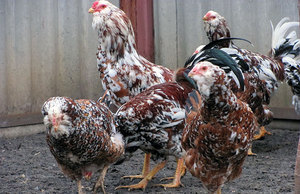 Как выглядит орловская курица