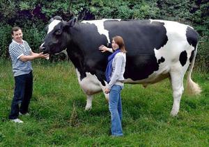 Голштинская корова