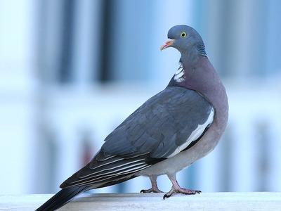 Сколько лет может жить уличный голубь в стае и без нее, средняя продолжительность жизни голубей