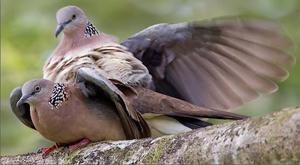Какразмножаются голуби