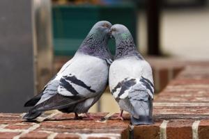 Спаривание диких голубей