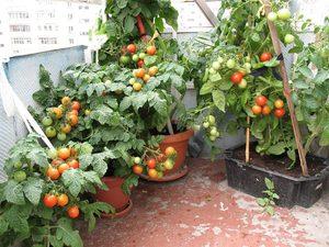 Как выращивают помидоры на балконе