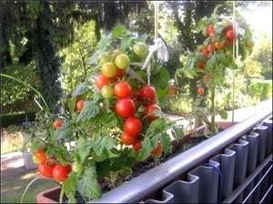 Как посадить помидоры в горшок