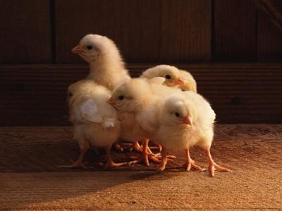 Температура для цыплят бройлеров: режим и климат для кур