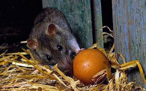 Борьба с крысами в курятнике