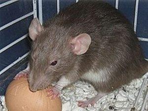 Какой вред наносят крысы в курятнике