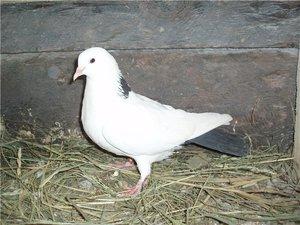 Как ведут себя голуби бакинской породы