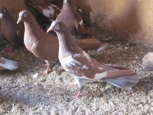 Основные признаки породы голубей