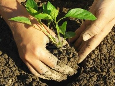 Чем и когда подкармливать рассаду баклажан: подкормка народными средствами и удобрениями