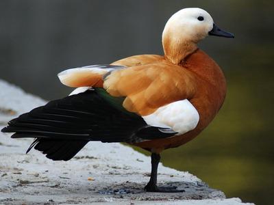 Огарь гусь или утка. Утка огарь (красная утка) как выглядит? Утка огарь: фото