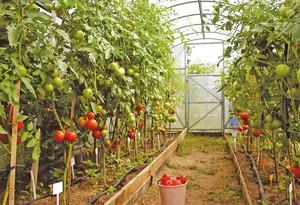 Как ппосадить помидоры с теплице