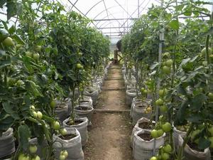 Особенности выращивания помидоров