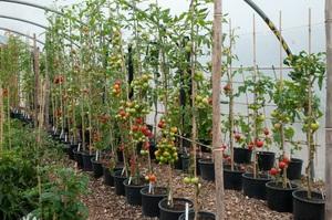 Техника выращивания помидоров
