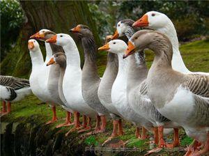 Кормление домашних гусей - Своя ферма
