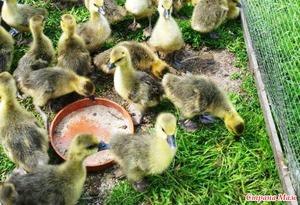 Кормление гусей летом  фото