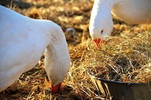 Правильный корм для гусей фото