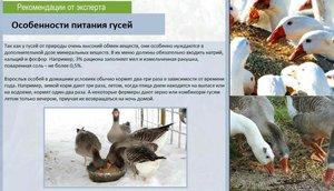 Особенности питания гусей фото