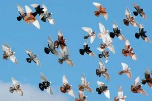 Корм для спортивных пород голубей