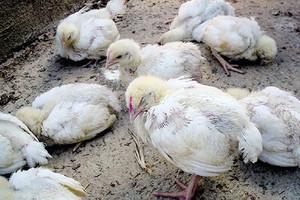 Почему цыплята поносят