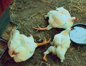 Диарея у цыплят