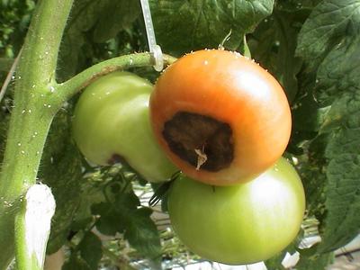 Болезни томатов в теплице причины профилактика и лечение