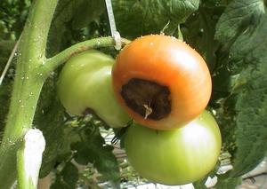 Заболевания помидор