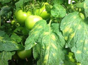 Заболевание листьев томата